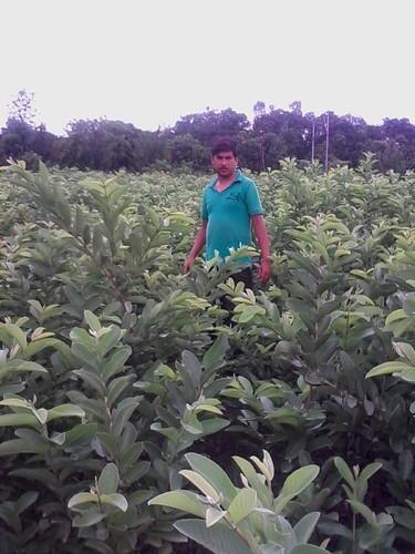 Hybrid Guava Plant Manufacturer Supplier Nursery in Kanpur