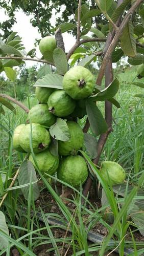 VNR Bihi Guava Plant Manufacturer Supplier Nursery in Kanpur