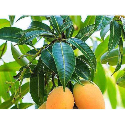 f879416a3 G Vilas Guava Plant Manufacturer Supplier Nursery in Malihabad ...