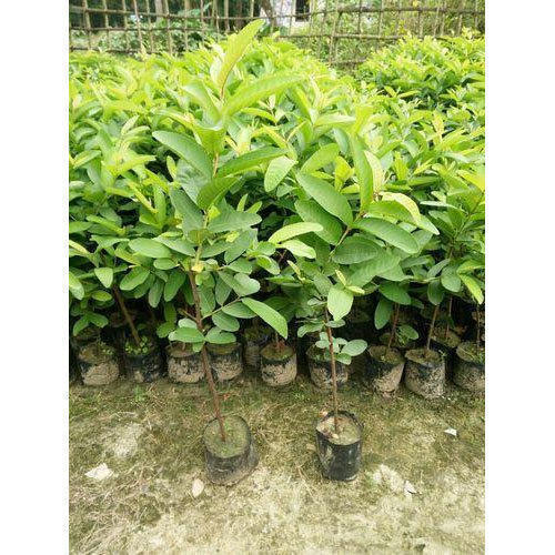 6f52b2545 Taiwan Pink Guava Plants Manufacturer Supplier Nursery in Malihabad ...