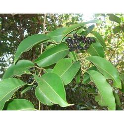 Fruit Plant Nurseries Agra India Johri